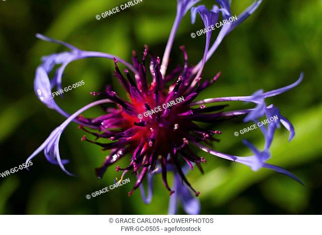 Bergamot 'Adam', Monarda 'Adam', Purple coloured flower growing outdoor