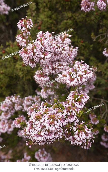 Inflorescence of Mediterranean Heath Erica multiflora, a winter-blossoming plant