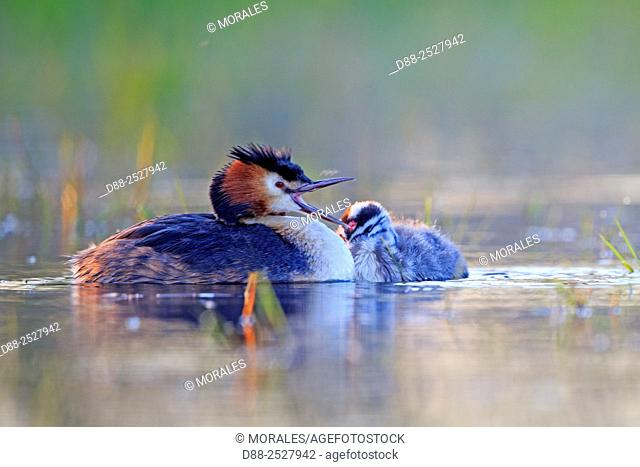 Europe, France, Ain, Dombes, Great Crested Grebe Podiceps cristatus, adult and young