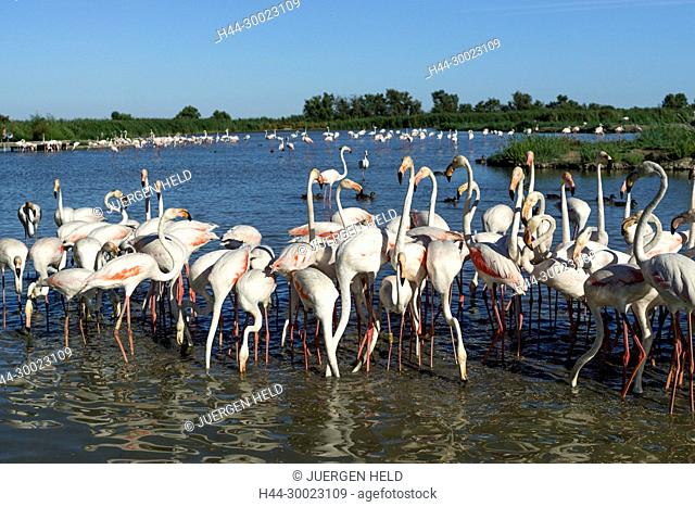 American Flamingos, (Phoenicopterus ruber), Parc Ornithologique du Pont de Gau, Camargue, France , Europe