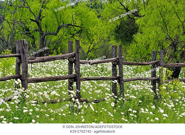 Flowering prickly poppy and fenceline, Llano County CR 310, Texas, USA