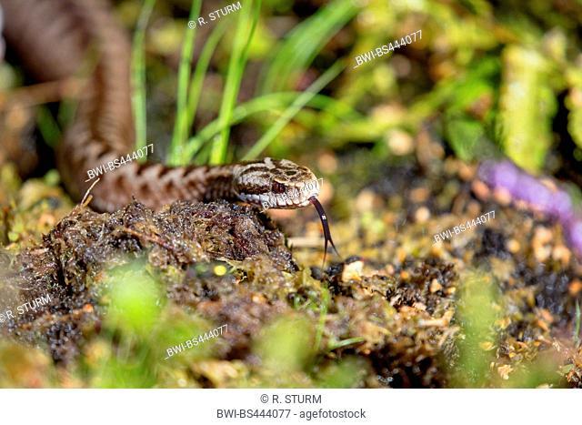Adder, common viper, common European viper, common viper (Vipera berus), lambently winding through the moor, Germany, Bavaria, Niederbayern, Lower Bavaria