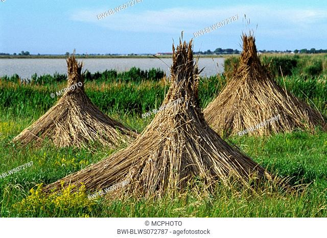 reed grass, common reed Phragmites communis, Phragmites australis, dried reed for thatched roofs, Dachau