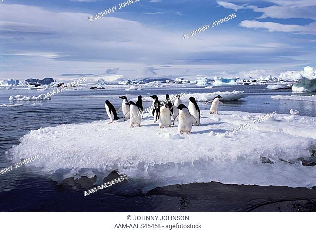 Adelie Penguins on Ice Floe, Devil's Island, Weddell Sea, Antarctica (Pygoscelis adeliae)