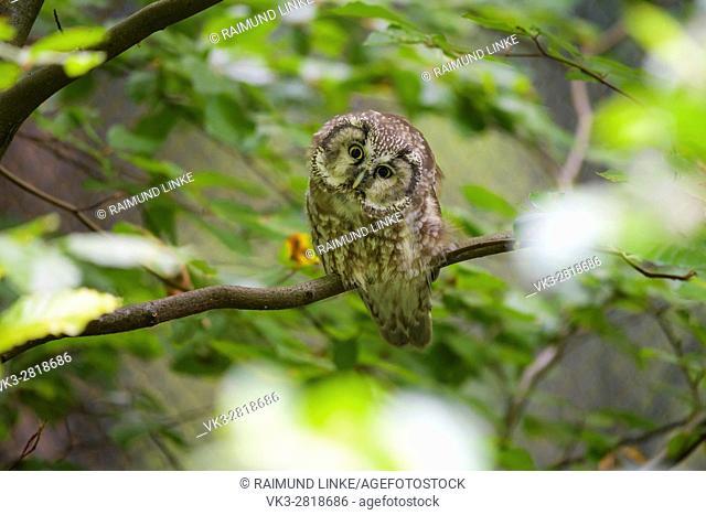 Tengmalm's Owl, Aegolius funereus, Bavaria, Germany