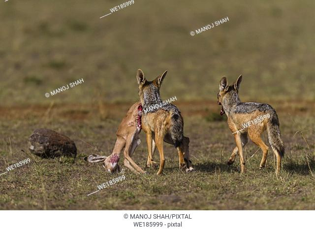 Blac-backed Jackals carrying an Impala kill, Masai Mara National Reserve, Kenya