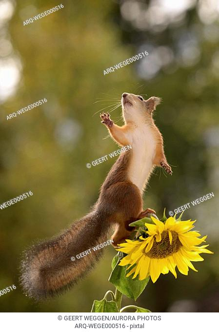 Red squirrel (Sciurus vulgaris) standing on sunflower and reaching out, Bispgarden, Jamtland, Sweden