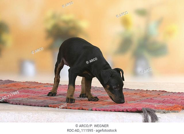 Manchester Terrier puppy 8 weeks sniffing at carpet
