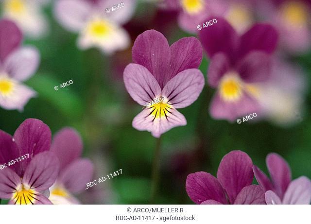 Wild Pansies, Iceland, Viola tricolor