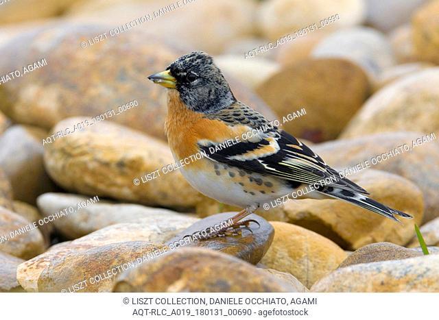 Male Brambling, Brambling, Fringilla montifringilla