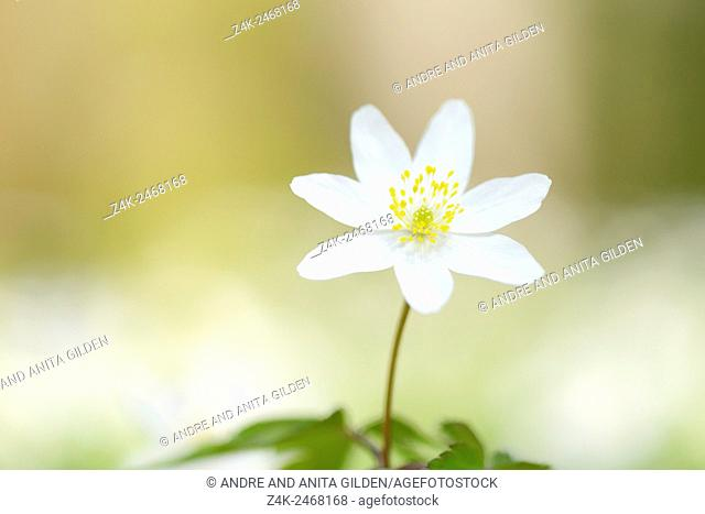 wood anemone (Anemone nemorosa) close up with shallow depth of field