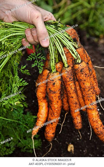 Hand holding a bunch of fresh picked home grown organic carrots, Anchorage, Southcentral Alaska