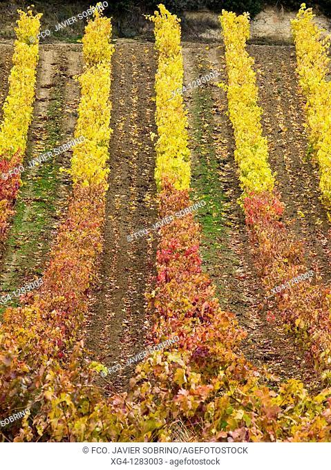 Vineyards in autumn near Laguardia - Rioja Alavesa - Euskadi - Spain