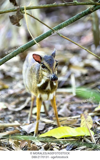 Asia,Malaysia,Borneo,Sabah,Kota Kinabalu,Lesser mouse-deer or kanchil or lesser Malay chevrotain (Tragulus kanchil)