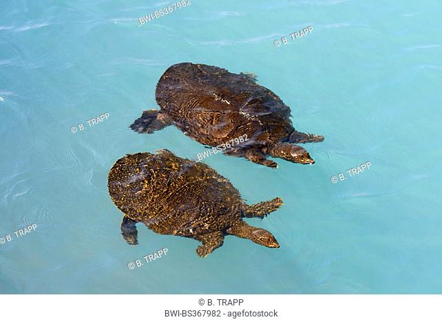 African softshell turtle, Nile softshell turtle (Trionyx triunguis), softshell turtles swimming in the blue water of the lagoon of Dalaman, Turkey, Lycia