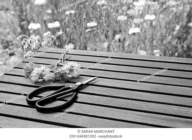 Florist scissors lie next to cut cornflowers on a slatted wooden table in a flower garden - with copy space - monochrome processing
