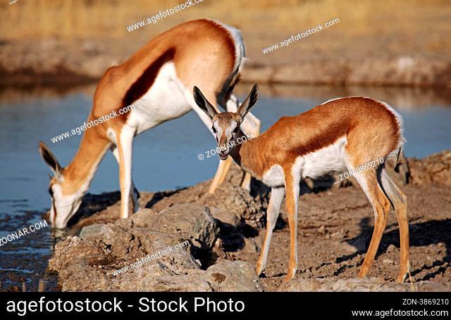 Springbock, Central Kalahari Game Reserve, Botswana, Botsuana, Antidorcas marsupialis, Springbok, Namibia