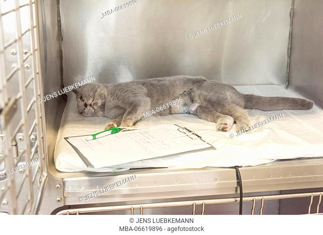 Cat with the veterinarian in the recovery area after an operation