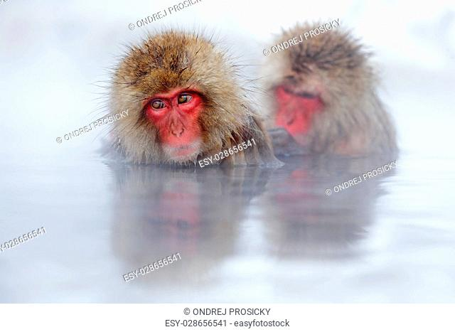 Monkey Japanese macaque, Macaca fuscata, red face portrait in th