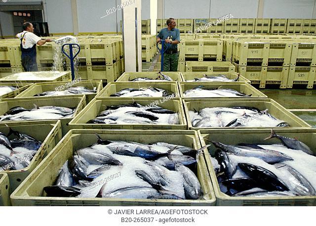Manipulating tuna fish at the fish market. Getaria. Guipuzcoa. Basque Country. Spain