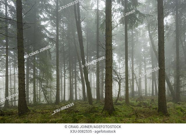 A misty coniferous forest. Mendip Hills, Somerset, England