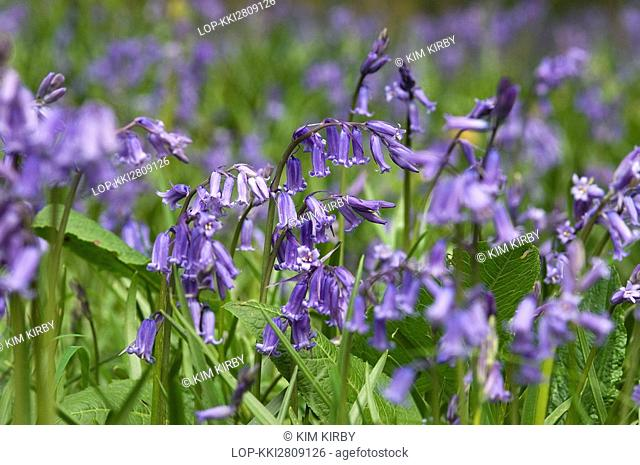 England, North Yorkshire, York, Wild bluebells in a wood close to York