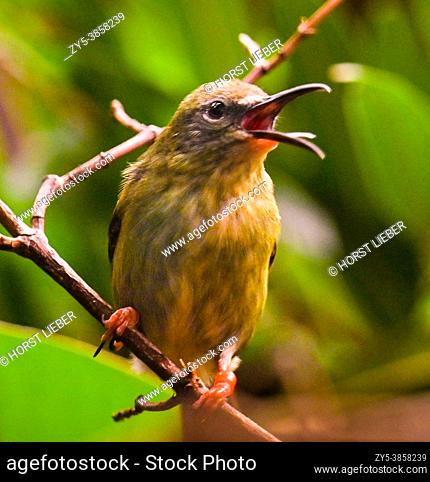 Red-legged Honeycreeper female (Cyanerpes cyaneus) perched on a branch