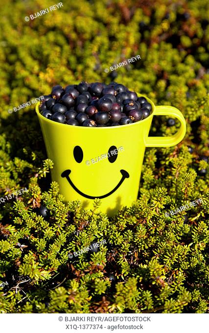 Freshly picked Crowberries, South Greenland