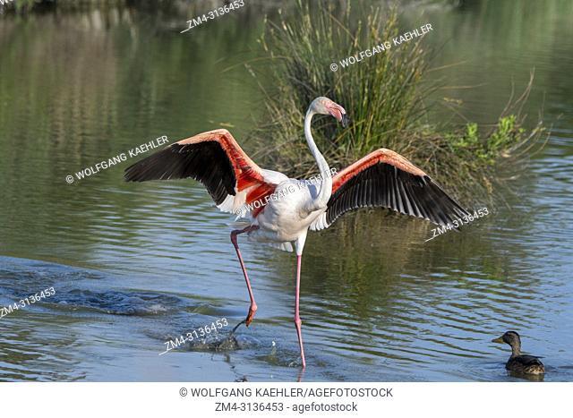 A Greater flamingo (Phoenicopterus roseus) is landing at the Bird Park Pont de Grau, a UNESCO designated biosphere reserve