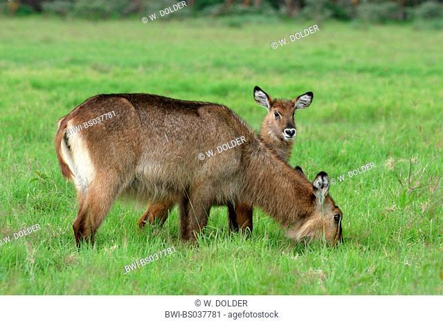 Defassa waterbuck (Kobus ellipsiprymnus defassa, Kobus defassa), portrait of a cow with calf, Kenya, Lake Nakuru National Park