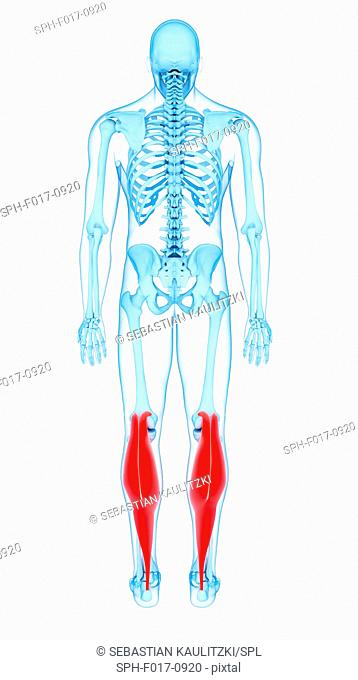 Illustration of the gastrocnemius medial head muscles