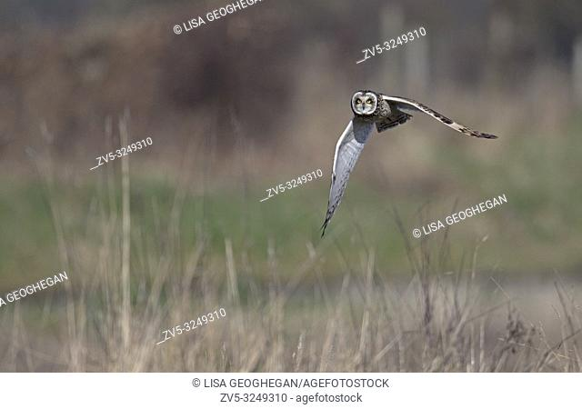Short-eared Owl-Asio flammeus hunts. Winter. Uk