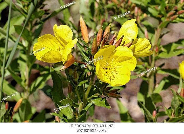 Oenothera tetragona, Evening Primrose, Sundrop