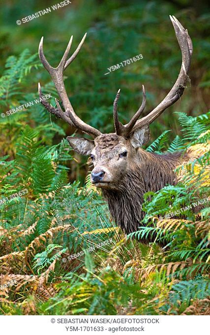 Red deer, Cervus elaphus, Great Britain