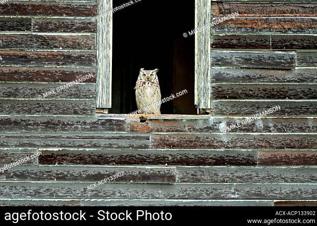 Great horned owl (Bubo virginianus) ledge of an old abandonned farm house Bents, Saskatchewan, Canada