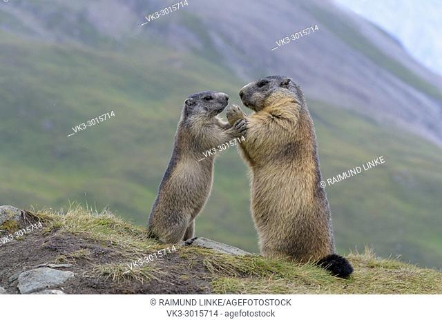 Alpine Marmot, Marmota marmota, mother with young, Hohe Tauern National park, Austria