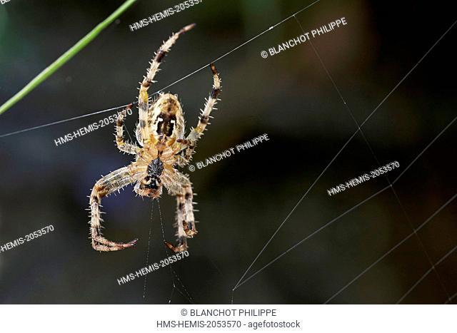 France, Araneae, Araneidae, European garden spider, Diadem spider, Cross spider, or Cross orbweave(r Araneus diadematus), ventral side of a female on its web
