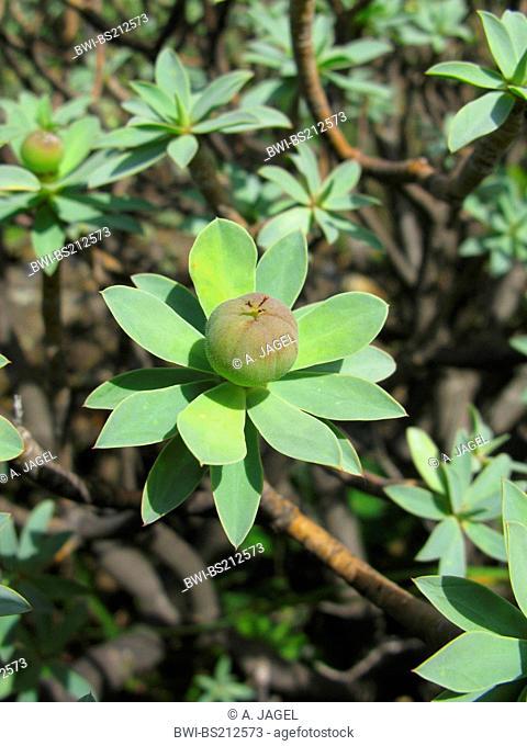 spurge (Euphorbia balsamifera), fruit, Canary Islands, Tenerife