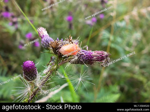 Hairy Shield Bug (Dolycoris baccarum) freshly moulted adult resulting in It's strange pink coloration, Herefordshire UK. July 2020