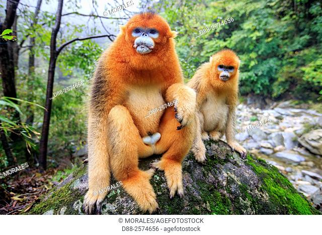 Asia, China, Shaanxi province, Qinling Mountains, Golden Snub-nosed Monkey Rhinopithecus roxellana, near by a river
