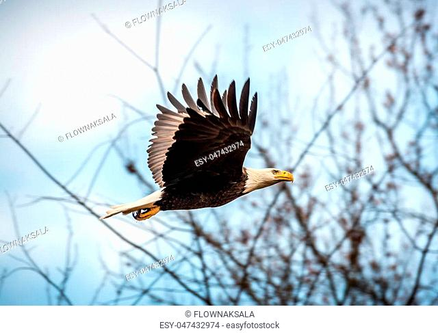 Bald Eagle flying through trees