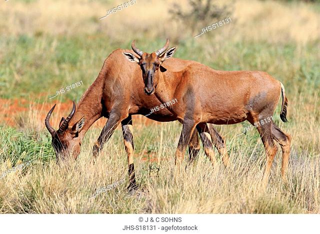 Tsessebe, (Damaliscus lunatus), adult couple, Tswalu Game Reserve, Kalahari, Northern Cape, South Africa, Africa