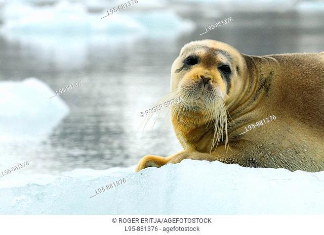 Bearded Seal Erignathus barbatus resting on a pack of ice, Spitsbergen