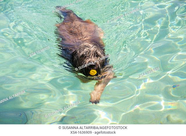 Dog swimming  Translucent water of Formentera, Balearic Island, Spain, Europe