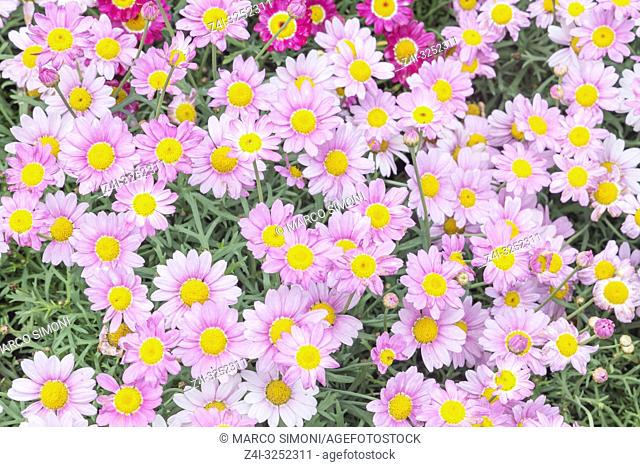 White Daisies and Pink Daisies in full bloom, Liguria, Italy