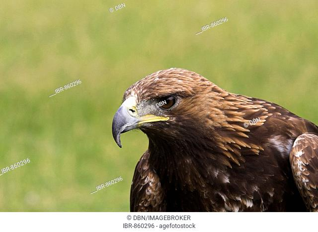 Portrait of a Golden Eagle (Aquila chrysaetos), Hesse, Germany, Europe