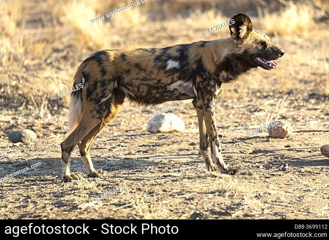 Africa, Namibia, Private reserve, African wild dog or African hunting dog or African painted dog (Lycaon pictus), adult, captive