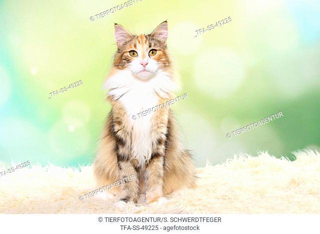 sitting Norwegian Forest Cat