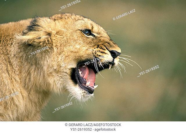 African Lion, panthera leo, Cub Snarling