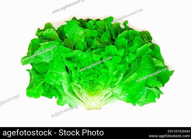 halved Green oak leaf lettuce isolated on white background. lettuce vegetable for salad. cooking ingridient. Lactuca sativa var. Crispa